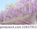 紫藤花 33837953