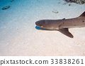 white tip reef shark ready to attack underwater 33838261