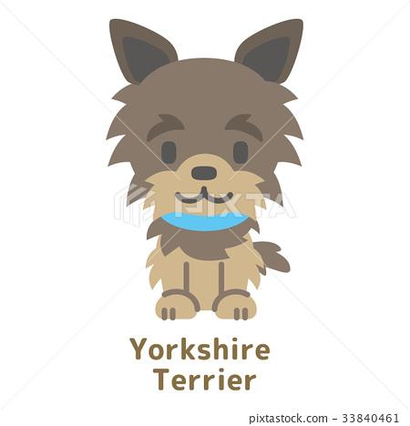 Yorkshire Terrier 33840461