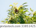 板栗 日本栗 水果 33851425