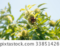 板栗 日本栗 水果 33851426