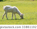 goat, goats, animal 33861102