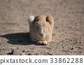 Okunojima兔子 33862288