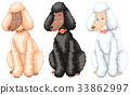 Three poodle dogs with different fur colors 33862997