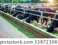 奶牛 牛 牲口 33872306