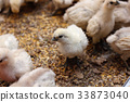 chick, chicks, baby 33873040