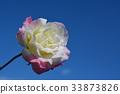 ท้องฟ้าเป็นสีฟ้า,กุหลาบ,ดอกไม้ 33873826
