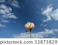 ท้องฟ้าเป็นสีฟ้า,กุหลาบ,ดอกไม้ 33873829