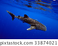 Whale shark is a big fish in the sea. 33874021