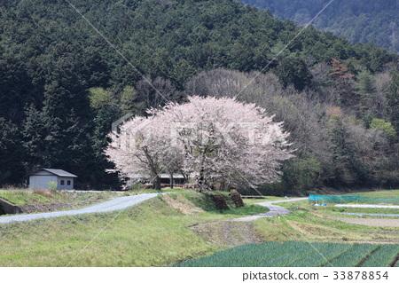 세키의 벚꽃 33878854