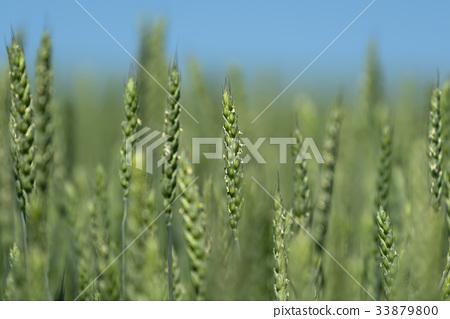 Wheat color 33879800