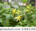 小西红柿 迷你蕃茄 西红柿 33882166