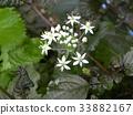 中国韭菜 韭菜 花朵 33882167