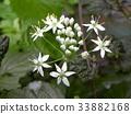 中国韭菜 韭菜 花朵 33882168