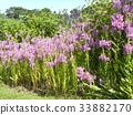 随意草 花朵 花卉 33882170