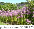随意草 花朵 花卉 33882173