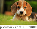 beagle dog Sleeping and take some rest  33889809