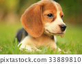 beagle dog Sleeping and take some rest  33889810