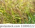 autumnal, rice, crop 33890222