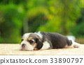 2 weeks pure breed beagle Puppy  33890797