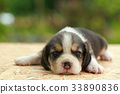 2 weeks pure breed beagle Puppy  33890836