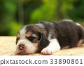 2 weeks pure breed beagle Puppy  33890861
