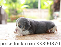2 weeks pure breed beagle Puppy  33890870