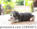 2 weeks pure breed beagle Puppy  33890871
