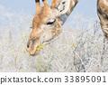 giraffe, neck, head 33895091