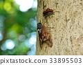 蝗虫 蝉 棕色大蝉 33895503