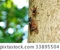 蝗虫 蝉 棕色大蝉 33895504