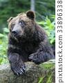 brown, bear, bears 33896338