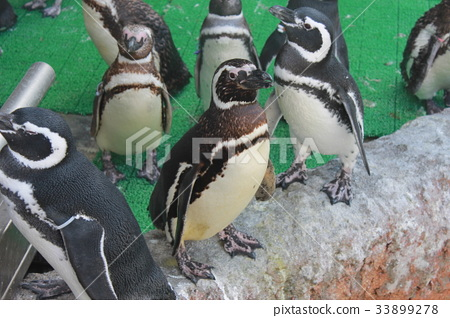 เพนกวิน,นก,แอนตาร์กติก 33899278