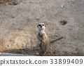 몽구스, 동물, 미어캣 33899409