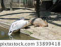 capybara, zoo, animal 33899418