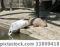 水豚 动物园 动物 33899418