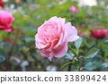 식물, 로즈, 꽃 33899424