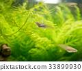 freshwater fish, medaka rice fish, fish 33899930