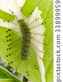 Caterpillar of the Common Gaudy Baron butterfly  33899959