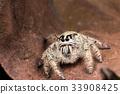 jumping spider Hyllus on a dry leaf, 33908425