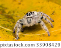 jumping spider Hyllus on a yellow leaf, 33908429