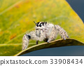 jumping spider Hyllus on a yellow leaf, 33908434