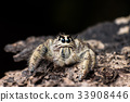 jumping spider Hyllus on a dry bark , 33908446