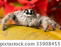 Jumping Spider Hyllus on a yellow leaf red flower 33908455