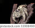jumping spider Hyllus on dry bark black background 33908460