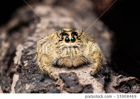 jumping spider Hyllus on dry bark black background 33908469