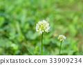 白色三叶草 花朵 花卉 33909234
