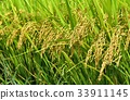ear, of, rice 33911145
