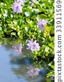 water hyacinth, common water hyacinth, bloom 33911569