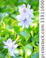 water hyacinth, common water hyacinth, bloom 33911606